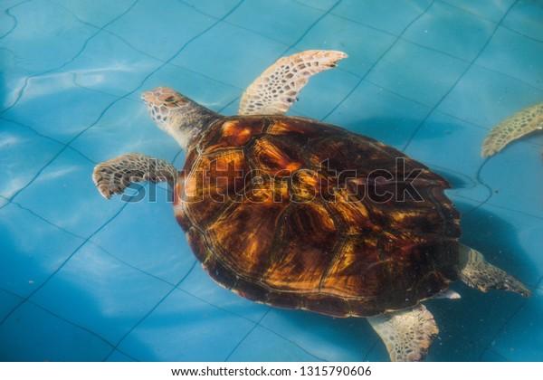 Sea Turtle Swimming Pool Stock Photo (Edit Now) 1315790606
