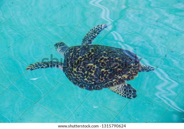 Sea Turtle Swimming Pool Stock Photo (Edit Now) 1315790624