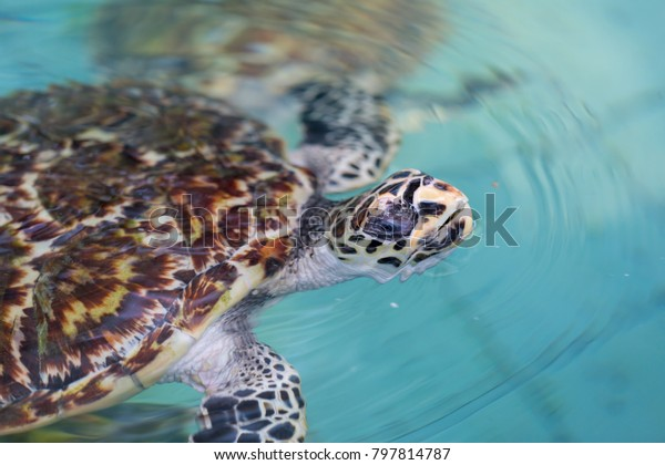 Sea Turtle Swimming Pool Stock Photo (Edit Now) 797814787