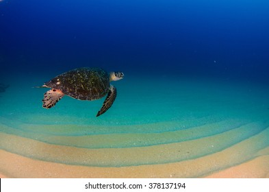 Sea turtle swimming in the reefs of Cabo Pulmo National Park, Cousteau once named it The world's aquarium. Baja California Sur,Mexico.