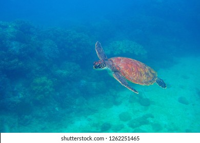 Sea turtle swimming undersea. Exotic marine turtle underwater photo. Oceanic animal in wild nature. Summer vacation activity. Snorkeling or diving banner template. Tropical seashore with sea tortoise