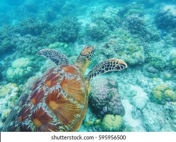 Sea turtle swims above corals on seabottom. White coral sand and coral reef. Tropical lagoon environment with sea animals. Olive green turtle in wild nature. Snorkeling with tortoise underwater photo