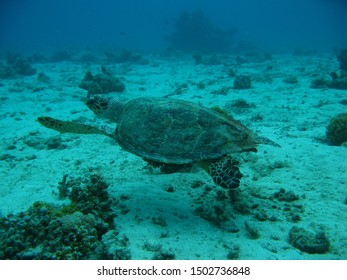 A sea turtle swims along the bottom on a reef in the Red Sea