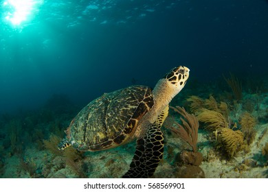 Sea turtle swims in the Florida Keys