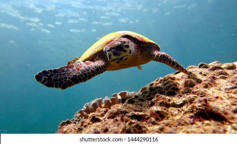 the sea turtle swims and looks at you, clear blue water and corals around