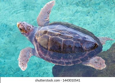 Sea turtle swims in open air tank in public aquarium. Loggerhead sea turtle (Caretta caretta), from the Chelondiidae family. Horizontal view.