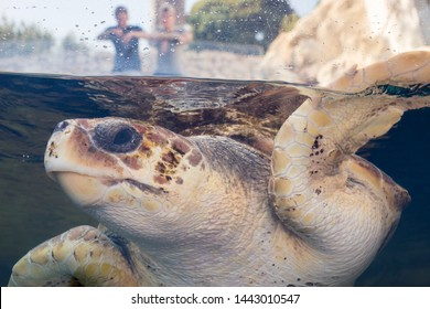 Sea turtle swims in open air tank in public aquarium, while tourists watch from above in the background. Loggerhead sea turtle (Caretta caretta), from the Chelondiidae family. Horizontal view.