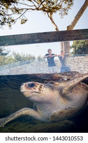 Sea turtle swims in open air tank in public aquarium, while tourists watch from above in the background. Loggerhead sea turtle (Caretta caretta), from the Chelondiidae family. Vertical view.