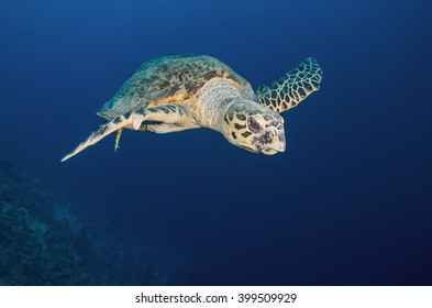 Sea turtle swims in the Red Sea