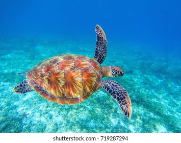 Sea turtle swims in sea water. Olive green sea turtle closeup. Wildlife of tropical coral reef. Tortoise undersea. Tropic seashore ecosystem. Big turtle in blue water. Aquatic animal underwater photo
