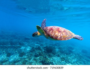 Sea turtle swims in sea water. Olive green sea turtle closeup. Life of tropical coral reef. Marine tortoise undersea. Tropic seashore ecosystem. Big turtle in blue water. Sea animal underwater photo