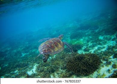 Sea turtle in tropical seashore. Marine tortoise underwater photo. Green turtle in natural environment. Green turtle swims undersea. Coral reef inhabitant. Marine animal of tropical seashore