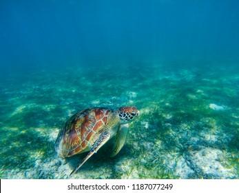 Sea turtle in tropical seashore, underwater photo of marine wildlife. Marine turtle undersea closeup. Wild animal of tropic sea. Oceanic animal. Endangered species. Sea turtle swimming in blue sea