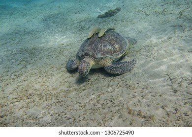 Sea turtle with two remora fishes on its shell grazing sea grass on the sandy seabed of the Red Sea in Egypt