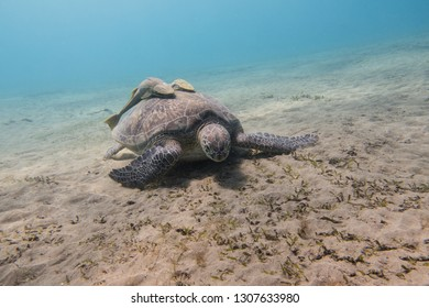 Sea turtle with two remora fishes (Echeneidae) or suckerfish on its shell grazing sea grass on the sandy seabed of the bay of Abu Dabbab in the Red Sea in Egypt