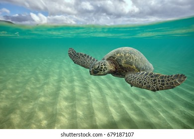 Sea turtle underwater floating over sand near water surface