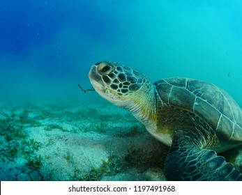 sea turtle underwater green turtle swim blue water