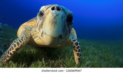 Sea turtle in the water close up