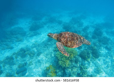 Sea turtle in water. Exotic island aquatic environment in sea lagoon. Wild turtle undersea animal in blue tropical seashore. Underwater photo with tortoise. Sea turtle banner template with text place
