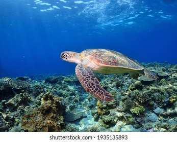 The sea turtle which swims elegantly