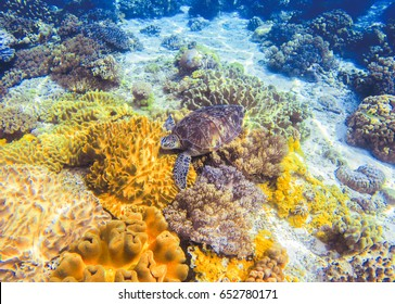 Sea turtle and yellow seaweed. Wild turtle swimming underwater in blue tropical sea. Undersea photo with tortoise. Sea turtle in nature. Snorkeling in tropic lagoon. Exotic island seashore with animal