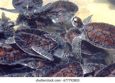 Sea Turtles in a Caribbean turtle conservancy tank.