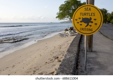 Sea Turtles Crossing. Sea Turtles are highly protected in Barbados. There is a strong scheme in place that watches for the birthing season and keeps the tourists away.