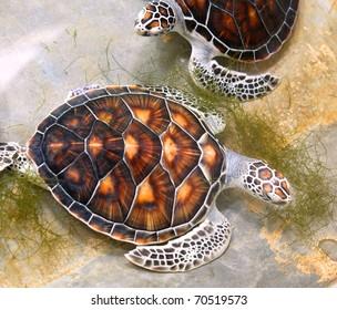 Sea turtles in nursery, Thailand