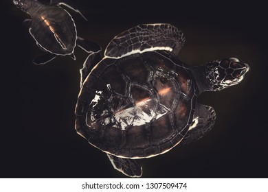 Sea turtles on black water background