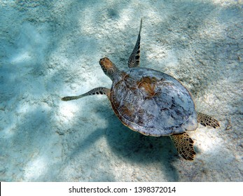 Sea turtles, sometimes called marine turtles, are reptiles of the order Testudines and of the suborder Cryoptodira.  They are large, air-breathing reptiles that inhabit tropical and subtropical seas.