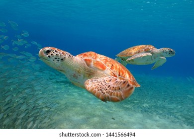 Sea turtles swimming in the blue ocean. Two turtles and school of fish in the shallow water. Underwater photography from scuba diving with marine wildlife.