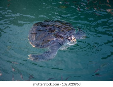 Sea turtle,Sea turtles are a species in the great Chelonioidea, which evolved to live in the sea all the time. It will not come on land. In addition to laying eggs of females only.