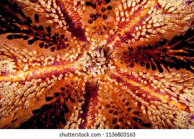 Sea urchin, Asthenosoma varium