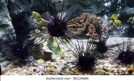 Sea urchin, Close up black sea urchin or long spines sea urchin an exotic water animal shown in aquarium