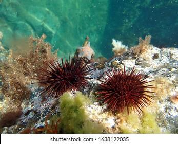 Sea urchin in the sea of japan.