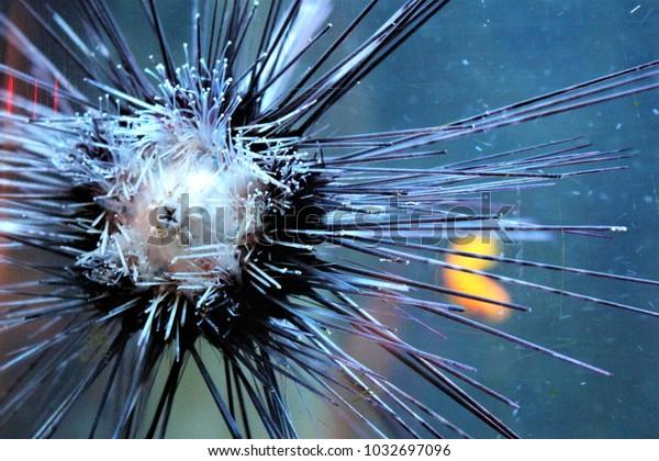 A sea urchin on a aquariumglass