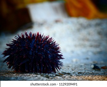 Sea Urchin on a stone during late afternoon sun