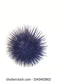 Sea urchin on white background