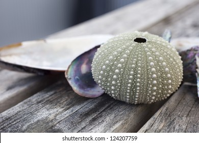 sea urchin shell/ a dried sea urchin shell with mussel shells behind