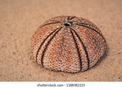 Sea urchin shell (Psammechinus Miliaris) on the sand