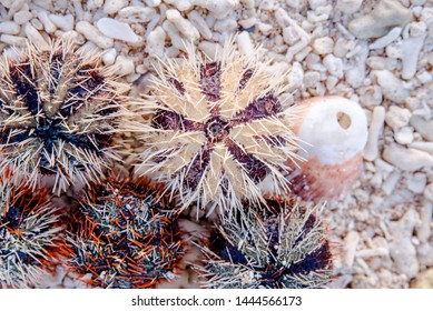Sea urchin at the shore of Sombrero Island, Masbate, Philippines.