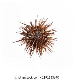 Sea urchin with spikes on white background
