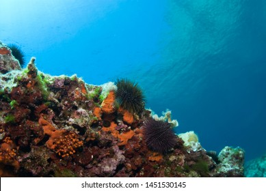 Sea urchin and sponges in blue sea, Mediterranean. Clear water.  View of surface water. Balearic islands.