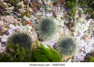 Sea urchins on the seafloor a the Poor Knights Islands in New Zealand.