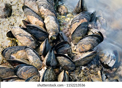 Sea waves hitting wild mussels on rocks.