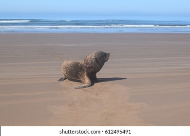 Sea Wolf at Argentina beach Necochea, marine wild life, relaxing and sunbathing, reproduction time.