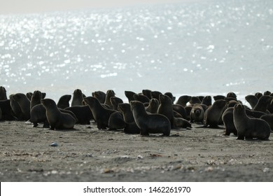 sea Wolf in patagonia argentina