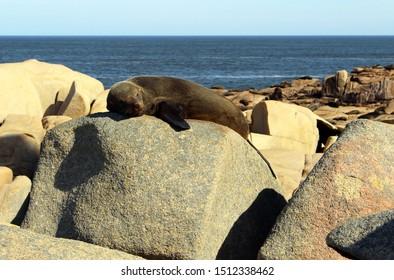 Sea Wolf resting on rocks in Cabo Polonio, Uruguay, South America