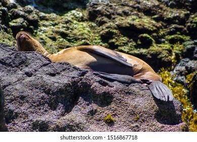 Sea Wolf sleeping chiloe lobo de mar puñihuil chile
