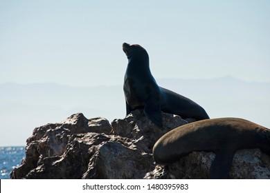 Sea Wolf standing on Island in Mexico Marietas Islands